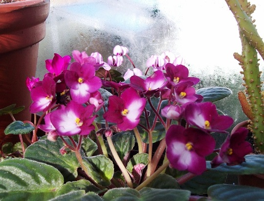 Saintpaulia (African Violet)