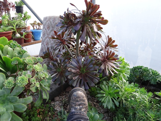 this aeonium is huge...but still no flowers!