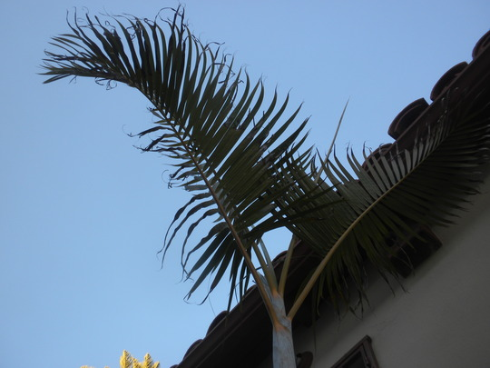 Butterfly Palm, Golden Cane Palm - (Dypsis lutescens) (Butterfly Palm, Golden Cane Palm - (Dypsis lutescens))