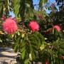 Calliandra haematocephala -  Powder Puff Tree (Calliandra haematocephala -  Powder Puff Tree)
