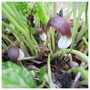 Mouse Tail Arum (Arisarum proboscideum (Mouse plant))