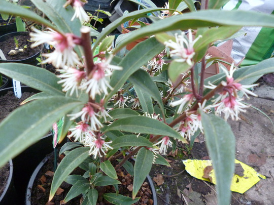 Sarcococca hookeriana (Sweet box) var Purple stem (Sarcococca hookeriana (Sweet box) var Purple stem)