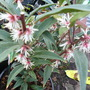 Sarcococca_confusa_purple_stem_