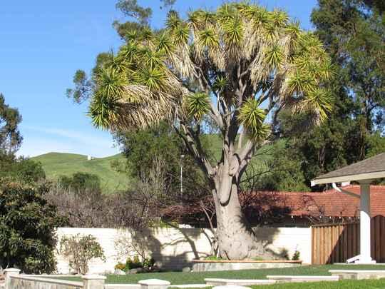Big old Yucca. (Yucca elephantipes (Giant yucca))