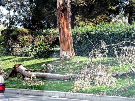 Never park under a Eucalyptus. (Eucalyptus)