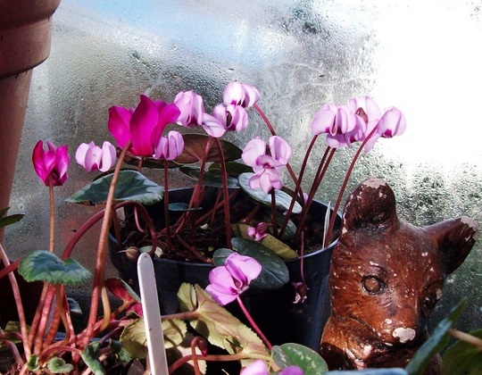 Cyclamen coum and Cyclamen persicum