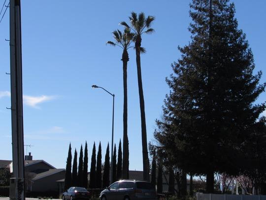 Two VERY tall Washingtonia filifera. (Washingtonia filifera (California Fan Palm))