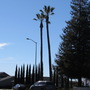 Two VERY tall Washingtonia filifera. (Washingtonia filifera (California Fan Palm))