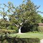 Magnolia grandiflora (Bull Bay)