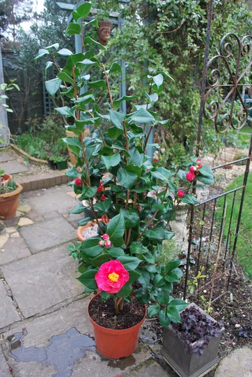 New Camellia for the garden, to replace an old woody Skimmia. (Camellia japonica (Camellia))