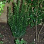 Euonymus Green Rocket (for my records) (Euonymus japonicus (Japanese Euonymus))