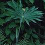 Arisaema consanguineum (Arisaema consanguineum)
