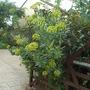 Bupleurum fruticosum (Bupleurum fruticosum)
