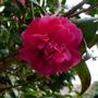 Camellia_red_close_up_2016