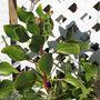 King Protea. (Protea cynaroides)