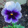 winter pansy oct 07 (viola)