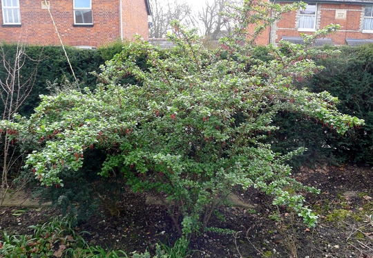 For DottyDaisy - Ribes speciosum - 2016 (Ribes speciosum)