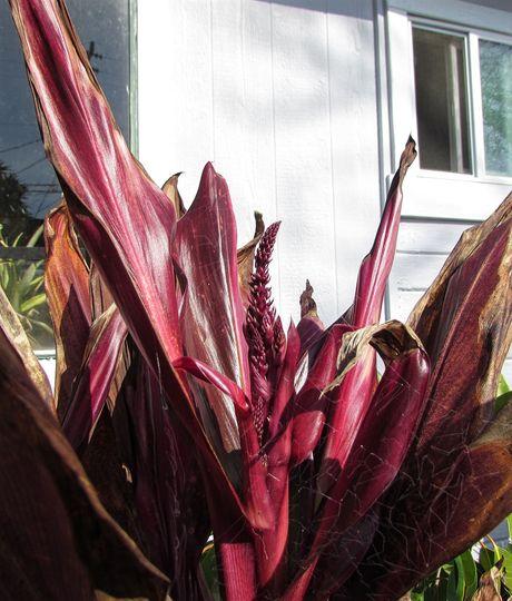 Ti Plant...getting ready to flower. (Cordyline terminalis (Dracaena))
