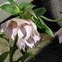 Hellebore, dbl pink