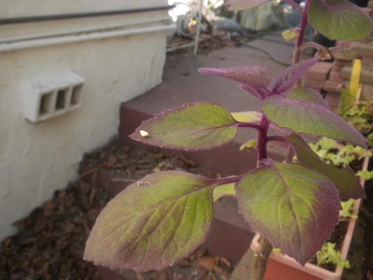 Purple Velvet Plant - (Gynura aurantiaca) (Purple Velvet Plant - (Gynura aurantiaca))
