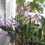 Rock Orchid. (Dendrobium kingianum)