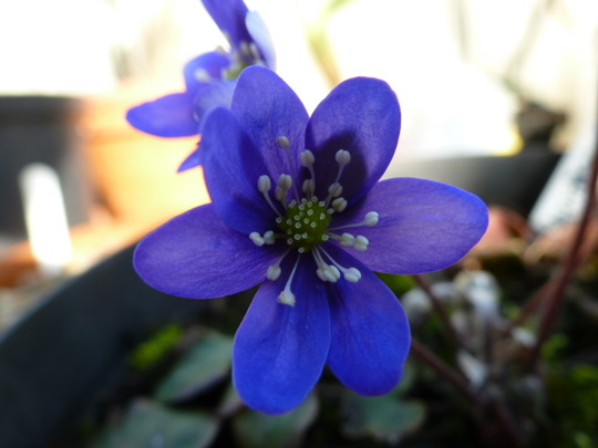 Hepatica nobilis blue