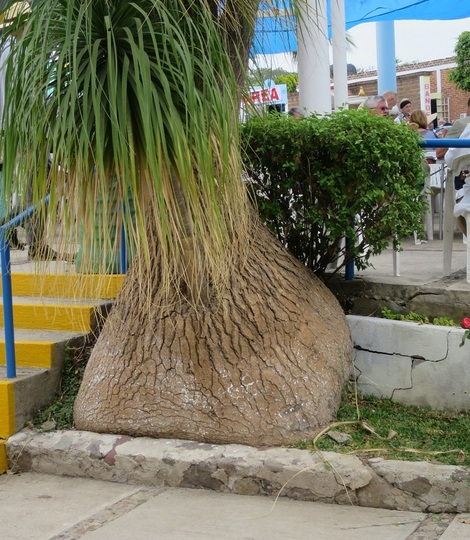 Beaucarnea recurvata (elephant's foot, ponytail palm) (Beaucarnea recurvata)