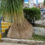 Beaucarnea recurvata (elephant's foot, ponytail palm) (Beaucarnea recurvata)