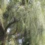 Casuarina. (Casuarina equisetifolia (Aru))