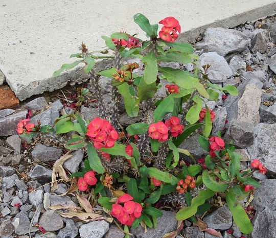 Euphorbia milii (Euphorbia milii)