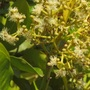 Blooming Allspice tree (Pimenta dioica)