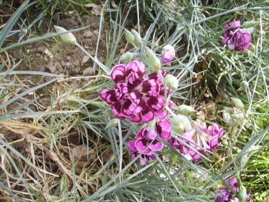 Garden Pinks [Dianthus] 'Parfait Raspberry' 07.08 (Dianthus chinensis)