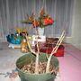 Delonix regia (Acacia Roja)