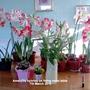 Amaryllis hybrids on living room table 07-03-2016