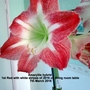 Amaryllis hybrid 1st Red with white stripes of 2016 on living room table 07-03-2016 (Amaryllis)