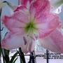 Amaryllis hybrid White with pink veining (Close up) 07 03 2016 002 (Amaryllis Hippeastrum)