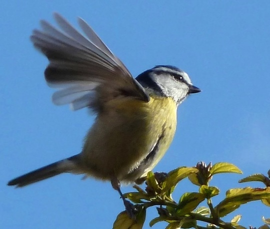 Blue tit frolicking on the ceanothus