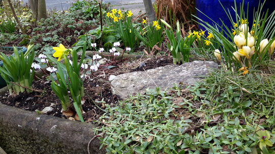 Cyclamen coum, Crocus &  Miniature Narcissi.