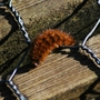 Fox Moth Caterpillar at Askham Bog.