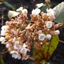 Viburnum carlesii (Viburnum carlesii (Viburnum))