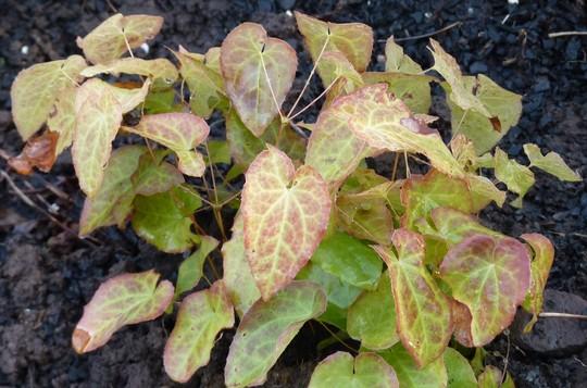 Epimedium 'Frohnleiten' for my records.  Nice young foliage. (Epimedium x perralchicum (Barrenwort))