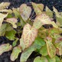 Epimedium 'Frohnleiten' for my records.  Nice young foliage. (Epimedium x perralchicum (Barrenwort))