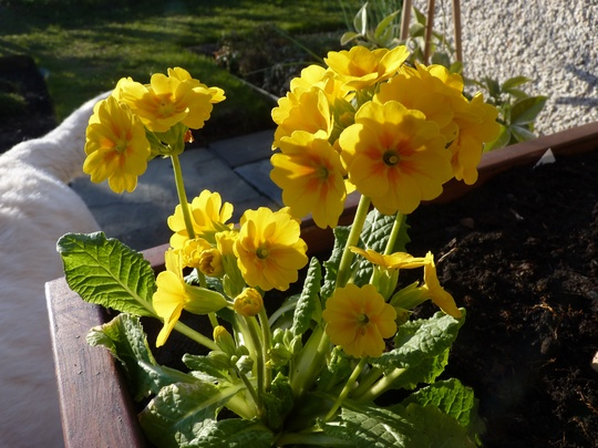 Little bedding Primula from my favourite nursery.