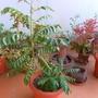 Curryleaf plant