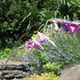 Angel's fishing rod (Dierama pulcherrimum (Angel's fishing rod))