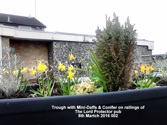 Trough with Mini Daffs Conifer on railings of The Lord Protector pub 8th Martch 2016 002