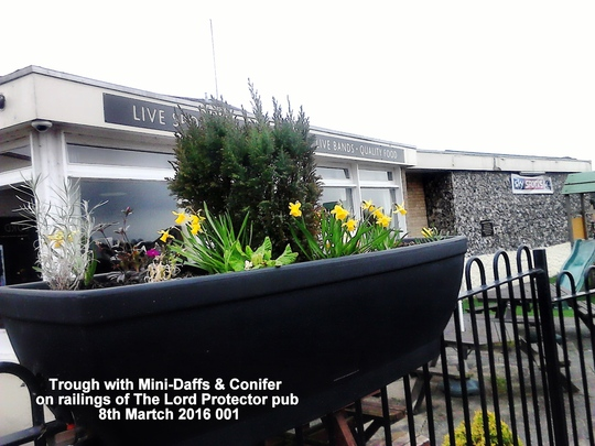 Trough with Mini-Daffs & Conifer on railings of The Lord Protector pub