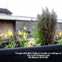 Trough with Mini-Daffs Conifer on railings of The Lord Protector pub