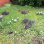 Crocuses in the front garden