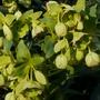 Green hellebore (Helleborus foetidus (Hellebore))
